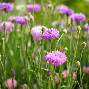 Purple cornflowers in garden